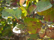 Interesting patterns on the Sea-grape leaves