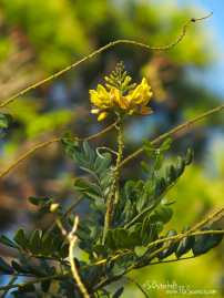 Honeymoon Island Senna Tree in bloom