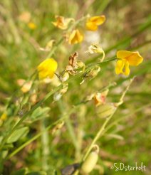 Yellow pea flowers