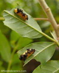 Strange caterpillars on the sumacs