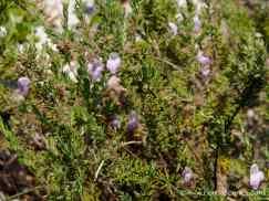 False Rosemary in bloom