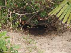 Gopher hole. Important for not just Gopher tortoises, but other species such as snakes.