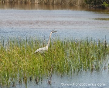 Heron wading in the marsh