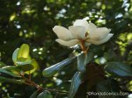 Fragrant Magnolias are plentiful here