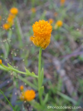 Orange Milkwort flower