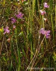 Blooming Threadleaf Sundew