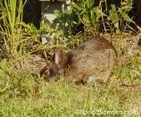 Bunny munching on grass