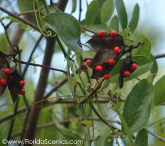 Rosary Pea - Poisonous seeds!