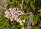Sandhill Milkweed in bloom