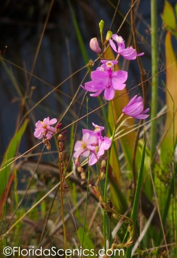 Grass Pink Orchid and Thread leaf Sundew blooms