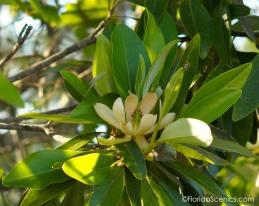Beautiful Bay Magnolias bloom along the boardwalk.