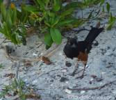 This Eastern Towhee hopped out to say hello while I was painting