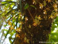 Butterfly Orchids dangle from the oaks