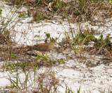 This dove blends into the thin grass on the dunes