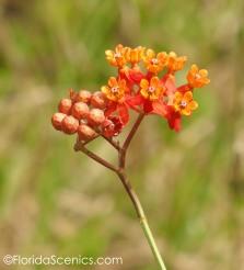 Few Flowered Milkweed