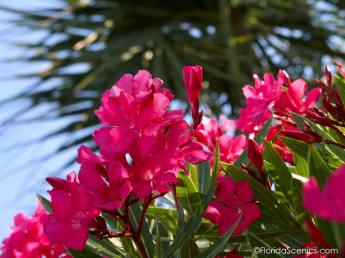 Hot Pink Oleanders with Palms