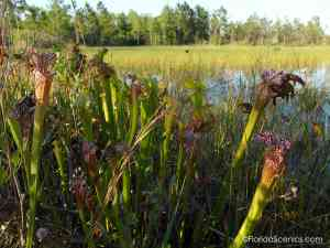 Cluster of Pitcher plants on the pond