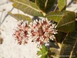 My favorite milkweed was common on the dunes