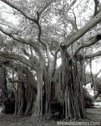 Spooky banyan tree