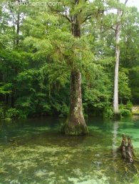 Big Cypress in the water