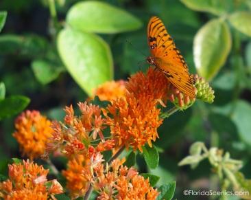 Gulf Fritillary on Butterfly milkweed