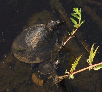 A larger softshell turtle and a small cooter share a rock