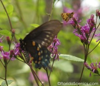 I was taking a photo of the small Fiery Skipper and the larger Black Swallowtail swooped in.