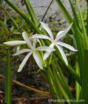 Swamp lily in bloom