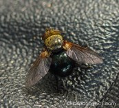 Tachinid Fly on my tripod strap. The larvae of these feed on young caterpillars
