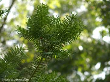 Torreya Tree leaves