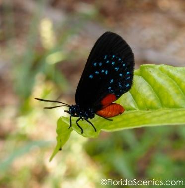 Atala butterfly on a wild coffee leaf