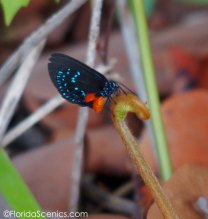 Atala on a coontie leaf