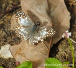 Tropical Checkered Skipper Butterfly