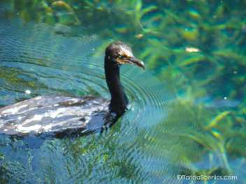 Emerald green eyes of the cormorant