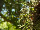Green Fly Orchids growing on a magnolia tree -