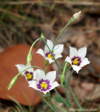 Pretty flowers of the white seaside gentian -