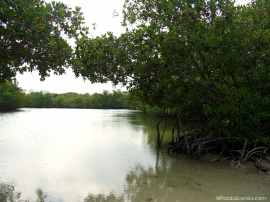 The mangroves on the river