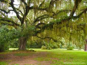 Oak and Spanish moss