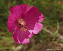 Purple Poppy Mallow - a rare wildflower for Florida