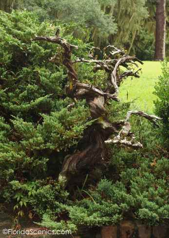 Old tree sculpture