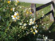 Spanish Needles in bloom