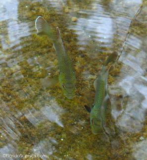 Blue Gills look a lot like trout in the clear water