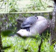 humongous Turtle on a log
