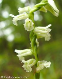Close up Ladies Tresses Orchid