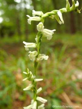 Ladies Tresses Orchid