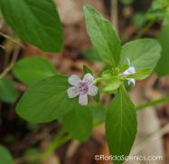 Lavender wild flower