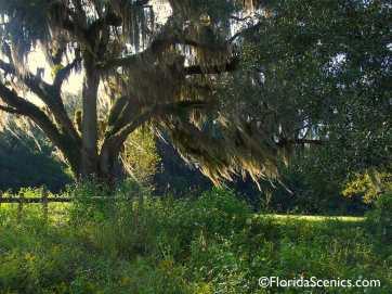 Oak with sunlit moss