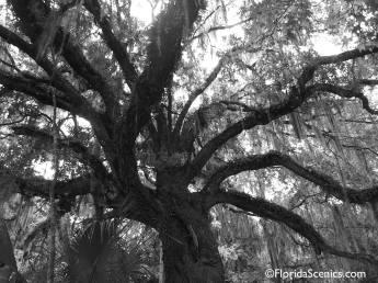 large old oak tree