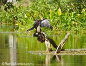 Anhinga in the sun