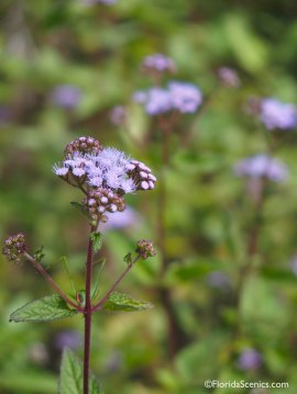 Blue Mist Ageratum wildflower
